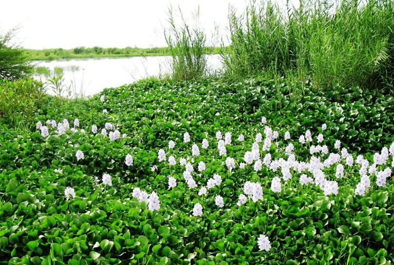 Hyacinth1.jpg  Hyacinth 1
