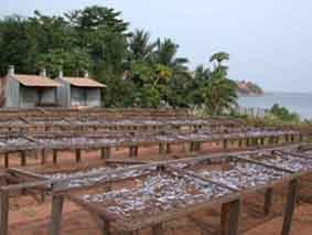 Dagaa fish drying