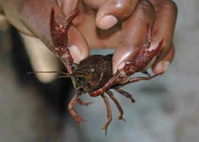 Invasive Species Crayfish in hand