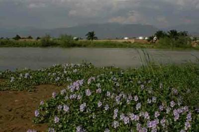Invasive Species water hyacinth