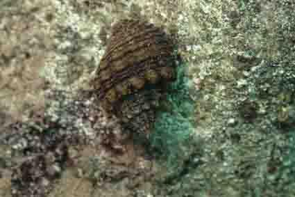 Snail Lavigeria nassa